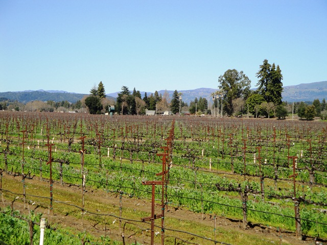 Chardonay Vines