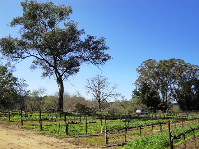 The Back of the Vineyard at Dry Creek
