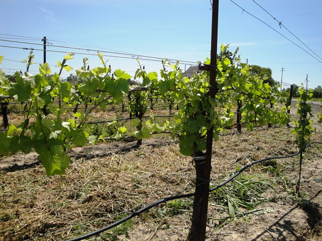 Vines In Late April
